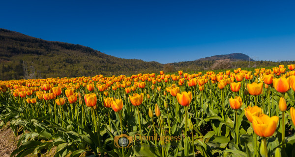 Tulip Field Photography Workshop