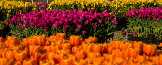 Tulip Field Photography Workshop