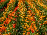 Abbotsford Tulip Festival-11