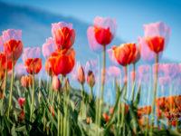 Abbotsford Tulip Festival-12