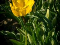 Abbotsford Tulip Festival-13
