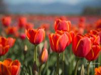 Abbotsford Tulip Festival-6