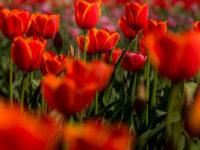 Abbotsford Tulip Festival-7