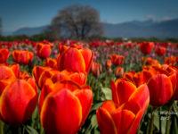 Abbotsford Tulip Festival-8